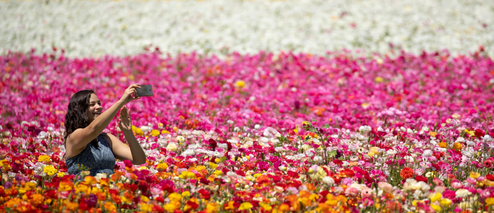 A women takes a selfie as she sits amid thousands of ranunculus flowers at the Flower Fields in Carlsbad, California, U.S., April 26, 2018.  REUTERS/Mike Blake - RC127BEC3C80