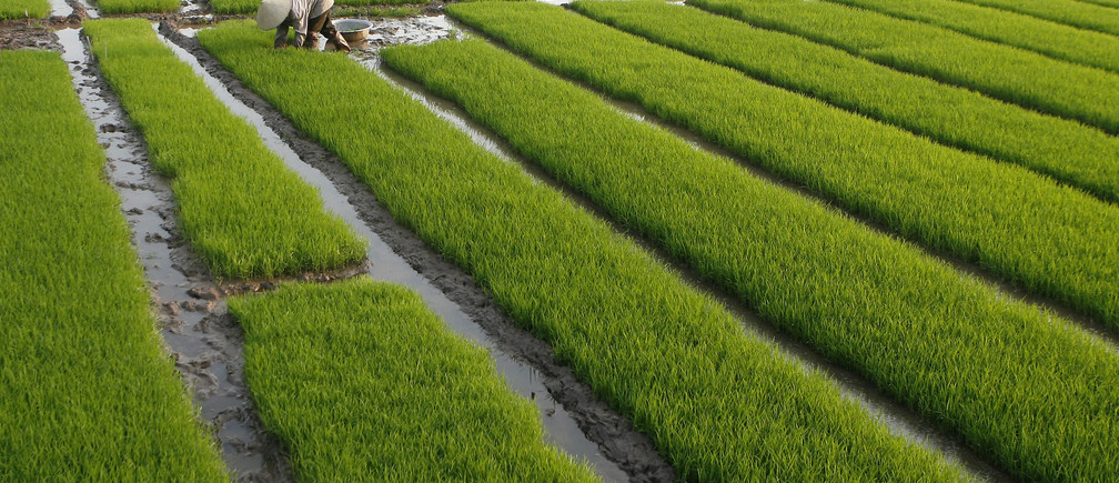 A farmer works on a paddy field outside Hanoi February 9, 2009. A Vietnam rice shipment reached the Philippines at the weekend, part of a 1.5 million tonne supply deal between the two countries, an official at the state grain agency said on Monday. The Philippines, the world's biggest rice importer, expects 500,000 tonnes of Vietnamese rice to be shipped between February and March.  REUTERS/Kham  (VIETNAM) - GM1E52A01DP01
