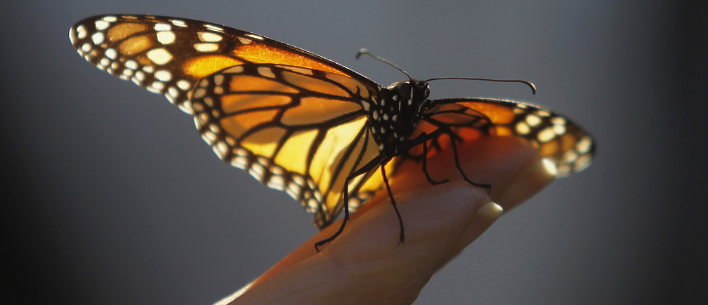 A monarch butterfly rests on a visitor's hand at the Monarch Grove Sanctuary in Pacific Grove, California December 30, 2014