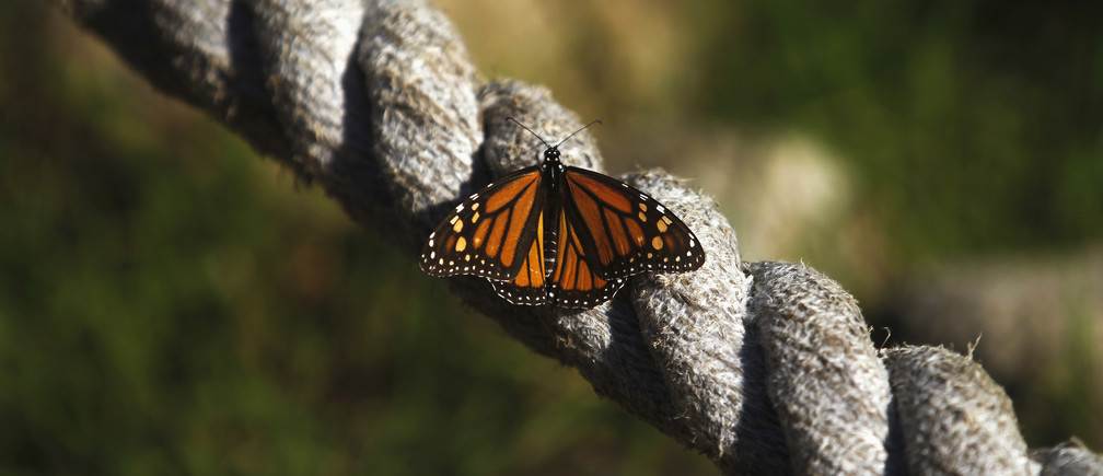 A monarch butterfly rests on a rope at the Monarch Grove Sanctuary in Pacific Grove, California, December 30, 2014.