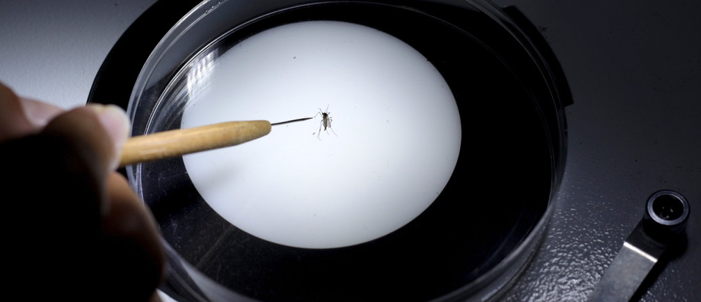 A public health technician inspects an Aedes aegypti mosquito in a research lab to help prevent the spread of Zika virus and other mosquito-borne diseases at the entomology department of the Ministry of Public Health, in Guatemala City, January 26, 2016.