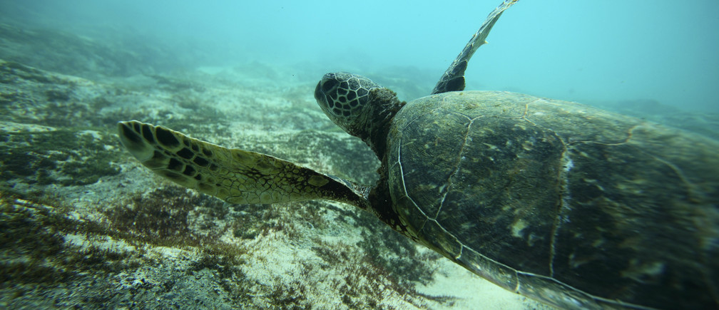 A Green Sea turtle swims over a reef near the surf break known as 'Pipeline' on the North Shore of Oahu, Hawaii