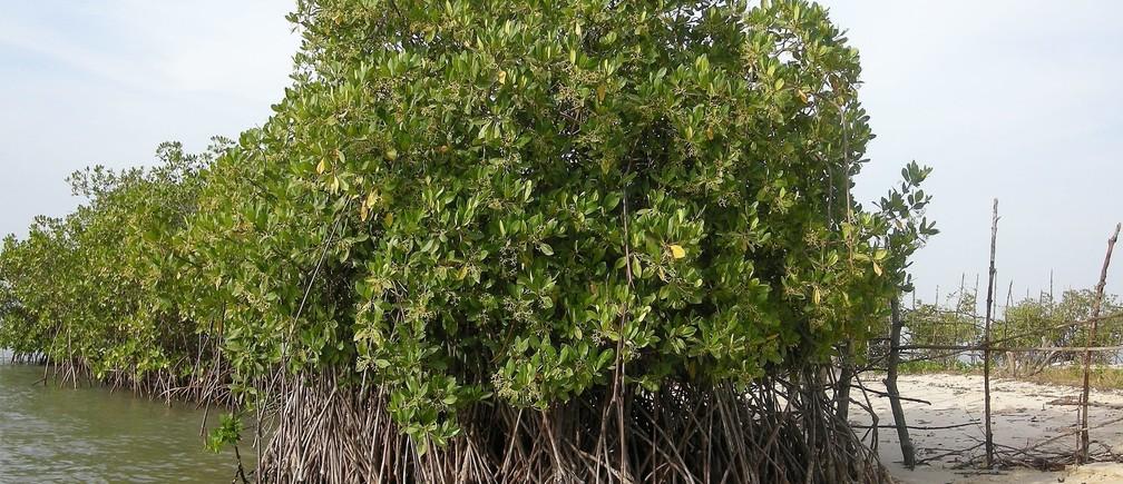 Magroves in Senegal
