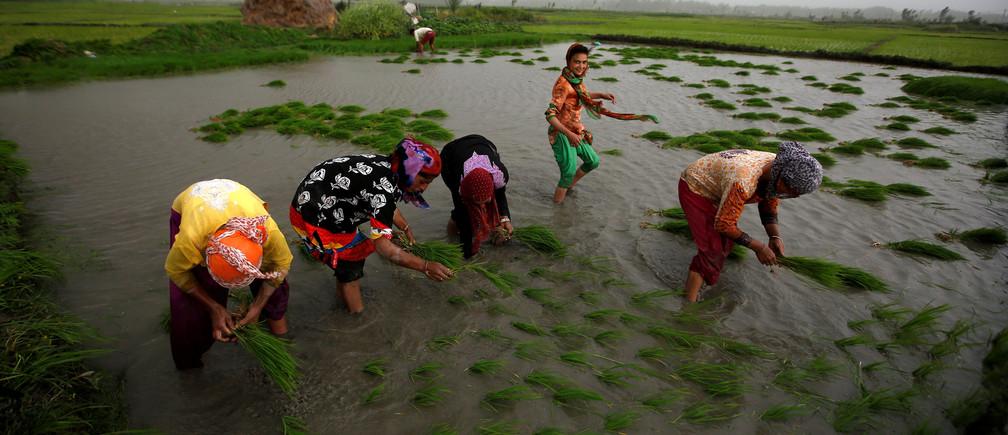 Farmers plant saplings in a rice field in Srinagar June 5, 2018.