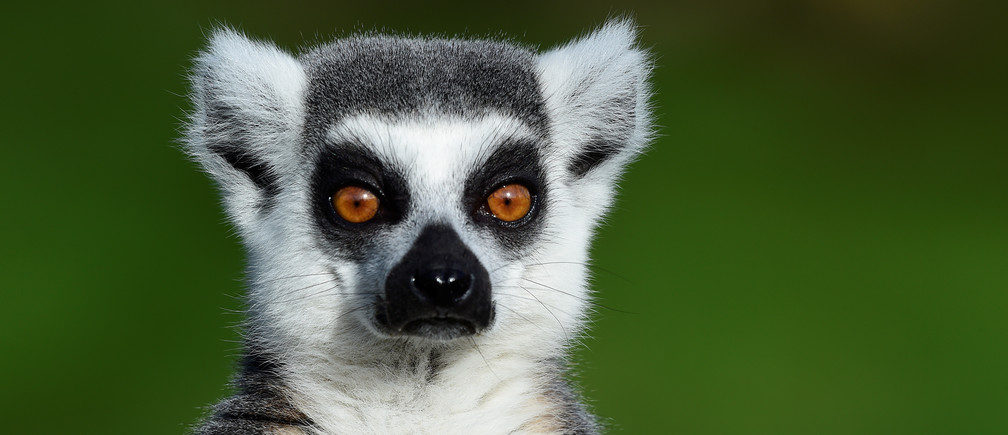 A ring-tailed Lemur sits in the sunshine at the Manor Wildlife Park, near Tenby, Pembrokeshire, Wales, Britain February 3, 2019.   REUTERS/Rebecca Naden - RC132307E8D0