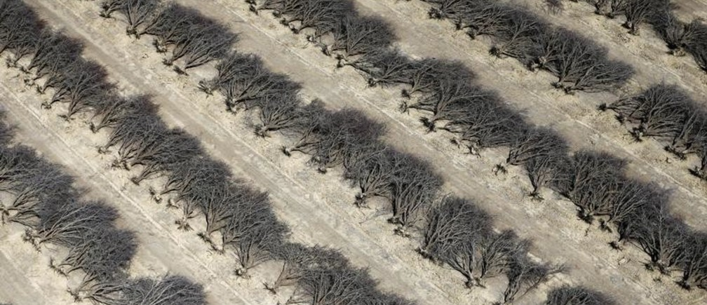A field of dead almond trees is seen in Coalinga in the Central Valley, California, United States May 6, 2015. Almonds, a major component of farming in California, use up some 10 percent of the state's water reserves according to some estimates. California ranks as the top farm state by annual value of agricultural products, most of which are produced in the Central Valley, the vast, fertile region stretching 450 miles (720 km) north-sound from Redding to Bakersfield. California water regulators on Tuesday adopted the state's first rules for mandatory cutbacks in urban water use as the region's catastrophic drought enters its fourth year. Urban users will be hardest hit, even though they account for only 20 percent of state water consumption, while the state's massive agricultural sector, which the Public Policy Institute of California says uses 80 percent of human-related consumption, has been exempted. REUTERS/Lucy Nicholson - GF10000086660
