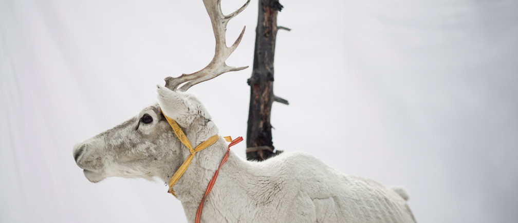 A reindeer of Dukha herder Erdenebat Chuluu stands in front of a white backdrop in a forest near the village of Tsagaannuur, Khovsgol aimag, Mongolia, April 21, 2018. Picture taken April 21, 2018.  REUTERS/Thomas Peter - RC1190592200