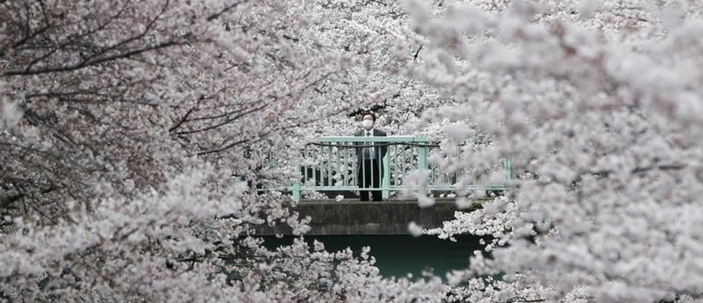 A businessman looks at cherry blossoms in almost full bloom in Tokyo, Japan, April 1, 2016. REUTERS/Issei Kato       TPX IMAGES OF THE DAY      - D1AESVVAGTAB