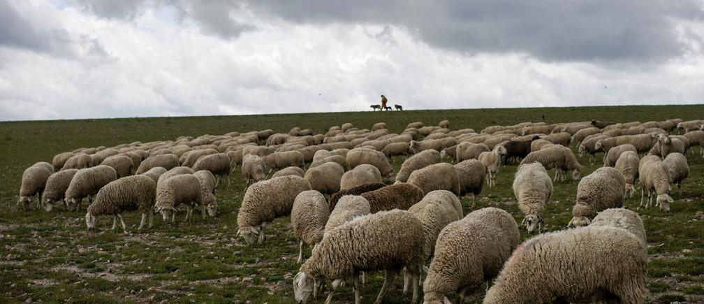 Un rebaño de ovejas pasta en un campo durante el brote de la enfermedad coronavirus (COVID-19) en Bercial, España, el 16 de abril de 2020.