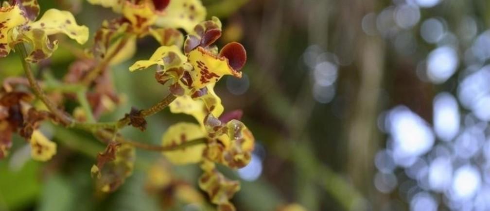 Cigar Orchids (Cyrtopodium punctatum) are seen at Fairchild Tropical Botanic Garden in Miami, Florida April 8, 2014.