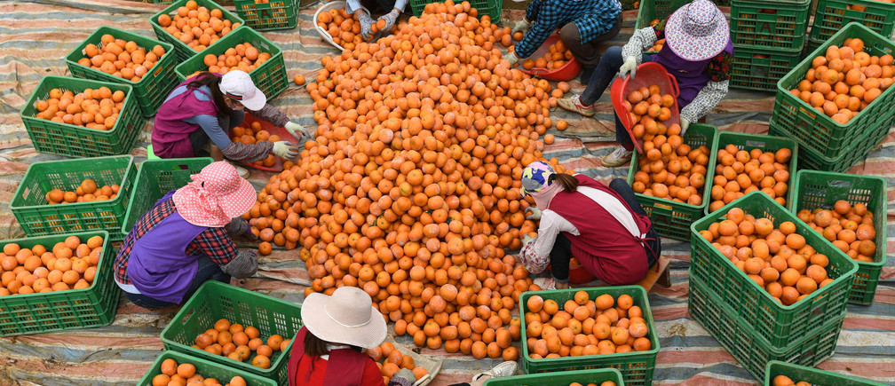 Women sort freshly harvested oranges at a plantation in Guangxi Zhuang autonomous region, China.