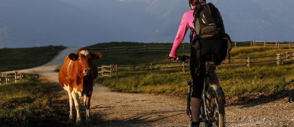 A woman rides her mountain bike next to a cow in the Karwendel mountains on an early summer day in the western Austrian village of Absam July 17, 2013. REUTERS/Dominic Ebenbichler (AUSTRIA - Tags: ENVIRONMENT ANIMALS) - BM2E97H0RW401