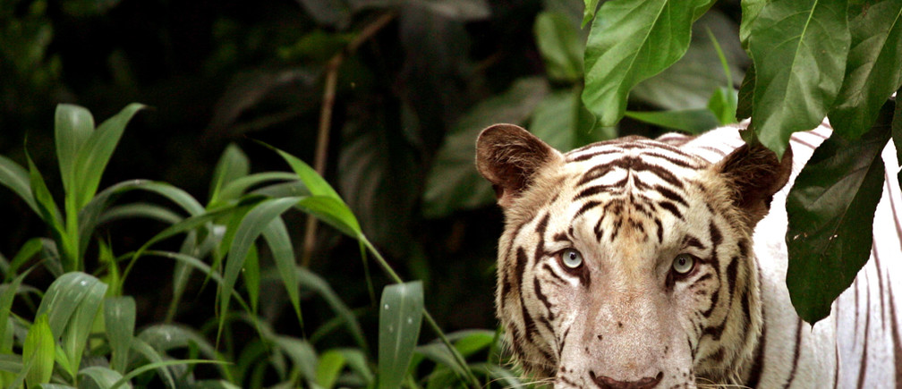 An Indian white tiger looks on from his enclosure at a zoological park in the eastern Indian city of Kolkata, previously known as Calcutta, August 3, 2005. India is offering money to poor forest villagers to help catch poachers in a bid to save its endangered tiger population. Picture taken August 3, 2005. REUTERS/Parth Sanyal  VM/YH - RP6DRNAINMAB