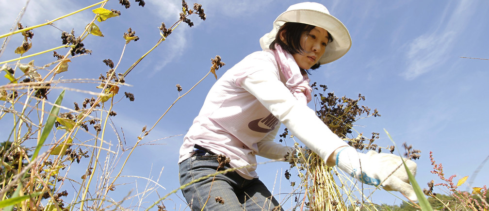 Keiko Hiramoto from Tokyo harvests buckwheat during a permaculture workshop in Hokuto, 150 km (93 miles) west of Tokyo October 23, 2010. Food Forest Club, a workshop organised by non-profit organisation Social Concierge, is aimed at promoting a recycling-based lifestyle and preserving biodiversity through experiencing the organic ways of living. Negotiators from over 190 countries are gathered in Nagoya, Japan for a United Nations meeting to discuss ways to fight rising extinctions of plants and animals from pollution, climate change and habitat loss.  REUTERS/Yuriko Nakao (JAPAN - Tags: ENVIRONMENT POLITICS SOCIETY AGRICULTURE) - GM1E6AO04PE01