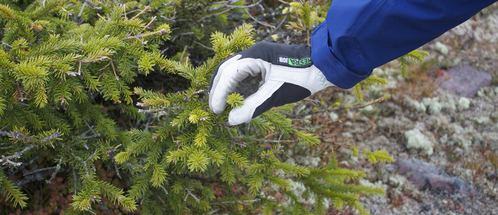 Mountain guide Eduardo Zuniga holds fresh needles growing on a spruce tree, that has a claim to being the world's oldest tree at 9,550 years of age, on Fulufjallet plateau in southern Sweden, October 4, 2012. On a windswept Swedish mountain, a 10,000-year-old spruce with a claim to be the world's oldest tree is getting a new lease of life thanks to global warming, even as many plants are struggling. At a range of latitudes, but especially in the far north, climate change is bringing bigger than expected swings, putting billions of dollars at stake in a push to develop varieties with resilience to frost and heatwaves, drought or flood. To match Story  CLIMATE-PLANTS/ Picture taken October 4, 2012. REUTERS/Alister Doyle (SWEDEN - Tags: ENVIRONMENT AGRICULTURE FOOD BUSINESS) - GM1E8AJ1OM401