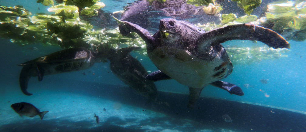 Green sea turtles are seen in a picture taken with a Go-Pro camera attached to a turtle as it swims inside a pool at the Israeli Sea Turtle Rescue Center, in Mikhmoret north of Tel Aviv, Israel September 23, 2019. Picture taken September 23, 2019. REUTERS/Amir Cohen - RC136C92ED20