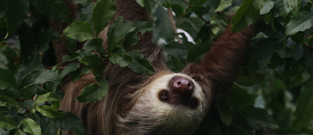 A sloth hangs from a tree on the outskirts of Colon city November 27, 2013. REUTERS/ Carlos Jasso (PANAMA - Tags: ANIMALS) - GM1E9BS0PL001
