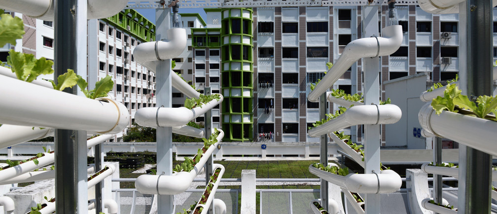 Rows of organic lettuces sprout from growing towers that are primarily made out of polyvinyl chloride (PVC)  pipes at Citiponics' urban farm on the rooftop of a multi-storey carpark in a public housing estate in western Singapore April 17, 2018. Picture taken April 17, 2018. REUTERS/Loriene Perera - RC131C8BA340
