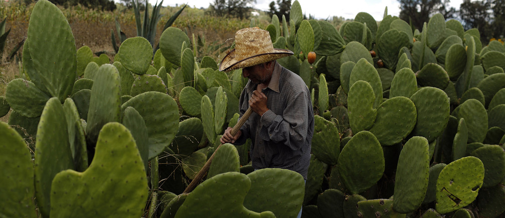 A man works at his nopal cactus field in Nopaltepec, state of Mexico September 30, 2014. In the shadow of the massive El Popo volcano, cactus growers in Mexico are helping to revive an ancient dying tradition with the help of a tiny bug that feeds off the country's prickly pears. The humble cochineal insect once occupied a proud place in pre-Hispanic culture as a natural dye for clothes and art. But over the years synthetic colours and the bug's parasitic nature saw it lose favour with local farmers. But amidst worldwide demand for the bug that has come from unlikely sources such as Starbucks and fashionistas, growers of the bug are cashing in. Picture taken September 30, 2014. REUTERS/Tomas Bravo (MEXICO - Tags: SOCIETY AGRICULTURE BUSINESS TEXTILE EMPLOYMENT) - GM1EAA31UNR01