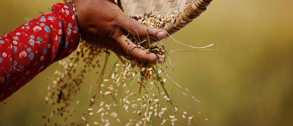 The hand of a farmer is pictured as she harvests rice on a field in Lalitpur, Nepal October 26, 2016. REUTERS/Navesh Chitrakar - D1BEUJDUFBAB