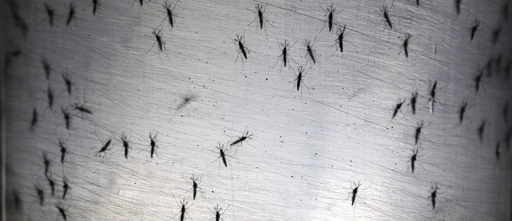 Genetically modified male Aedes aegypti mosquitoes are pictured at Oxitec factory in Piracicaba, Brazil, October 26, 2016.  REUTERS/Paulo Whitaker - RTX2QM8J