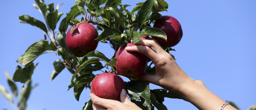 A French farm worker harvests apples in a 8 hectare apple orchard at the Verger d'Epinoy near Cambrai, northern France September 3, 2014. French apple growers are facing a sharp drop in revenue this year due to Russia's restrictions on food imports from Western countries. With the European Union's second-largest apple producer Poland unable to export its usual 700,000 tonnes of the fruit per year, these are set to come and compete at cut price on EU markets. The European Commission said fruit and vegetable producers would receive aid of up to 125 million euros ($162 million) to help them cope with the impact of the ban. French Agriculture Minister called people to eat local products to avoid a slump in prices. Picture taken September 3, 2014.   REUTERS/Pascal Rossignol (FRANCE - Tags: AGRICULTURE FOOD BUSINESS POLITICS) - RTR45HKH