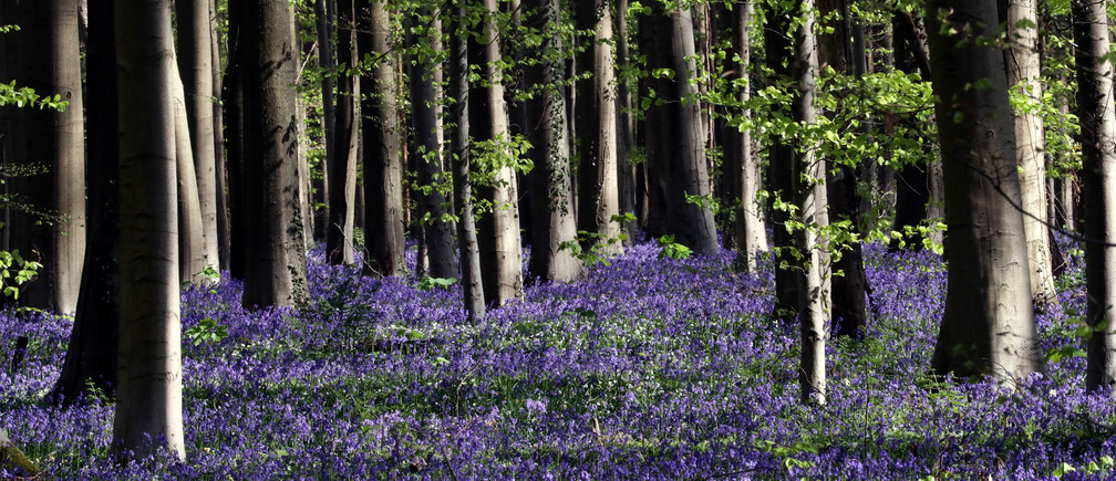 """Wild bluebells, which bloom around mid-April turning the forest blue as they form a carpet, are pictured in the Hallerbos, also known as the """"Blue Forest"""", that had to be closed to groups of tourists this year due to the coronavirus disease (COVID-19) outbreak, near Halle, Belgium April 13, 2020. REUTERS/Yves Herman - RC2R3G9I74XK"""