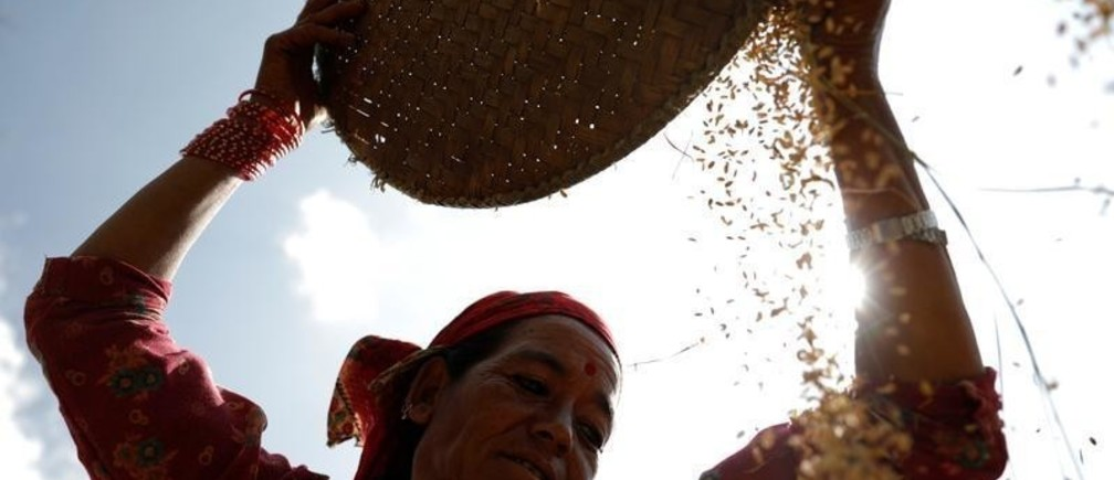 A farmer harvests rice on a field in Bhaktapur, Nepal October 24, 2018. REUTERS/Navesh Chitrakar     TPX IMAGES OF THE DAY - RC1AA2C8D470
