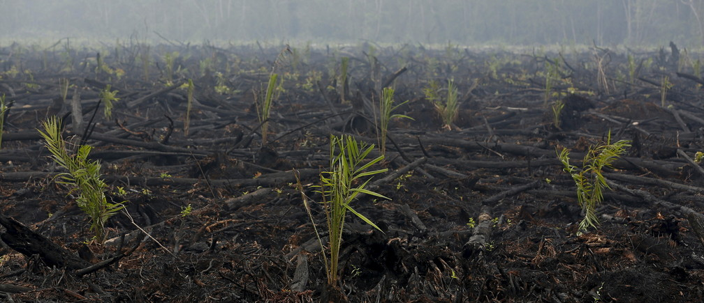 A general view shows land recently burned and newly-planted with palm trees and now under police investigation west of Palangkaraya, Central Kalimantan, Indonesia October 30, 2015.  Often deliberately set by plantation companies and smallholders, the fires have been burning for weeks in the forests and carbon-rich peat lands of Sumatra and Kalimantan islands. The national disaster management agency said it expected the fires to be completely extinguished by the end of November or early December. Haze-hit provinces have begun seeing rainfall, which authorities hope will help government efforts to combat the fires.REUTERS/Darren Whiteside  - GF20000038628