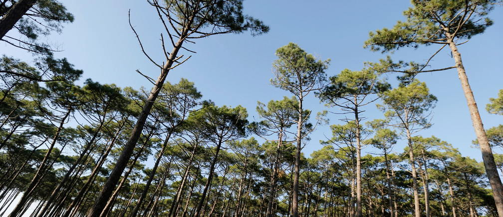 Pine trees are pictured on the International Day of Forests in the Landes forest near Le Pyla, France March 21, 2019. REUTERS/Regis Duvignau