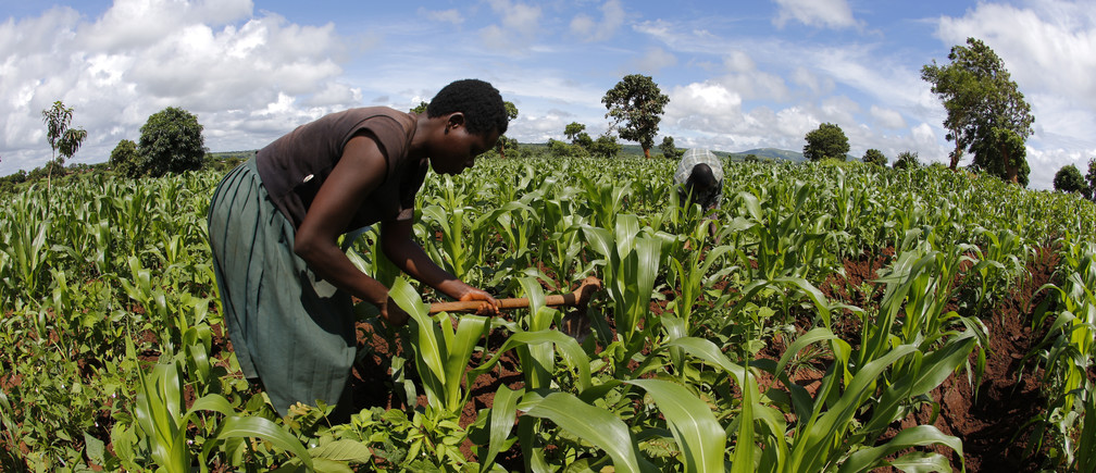 Subsistence farmer work their field of maize after late rains near the capital Lilongwe, Malawi February 1, 2016.