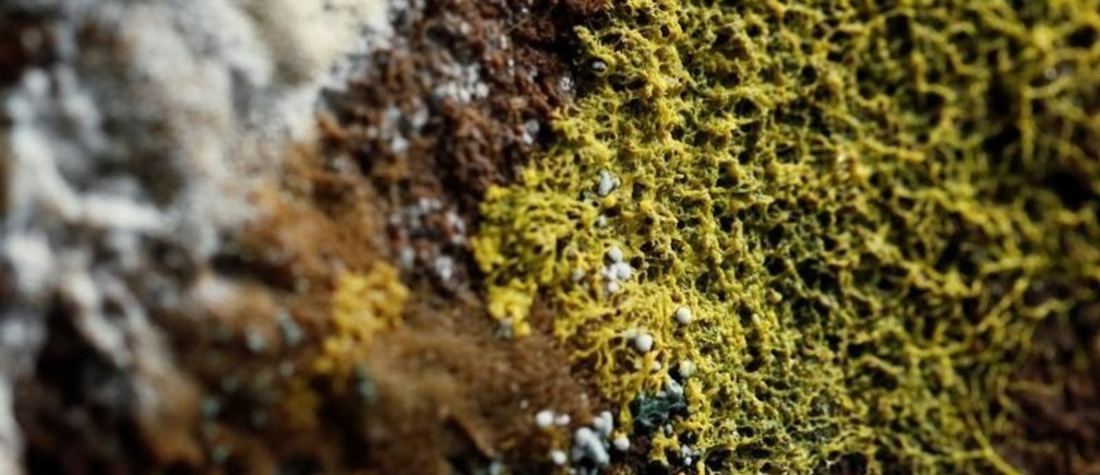 """The """"blob"""", slime mould (Physarum polycephalum), a single-celled organism forming over tree chunk, is pictured at the Paris Zoological Park during a press preview in Paris, France, October 16, 2019. REUTERS/Benoit Tessier - RC1783E15280"""