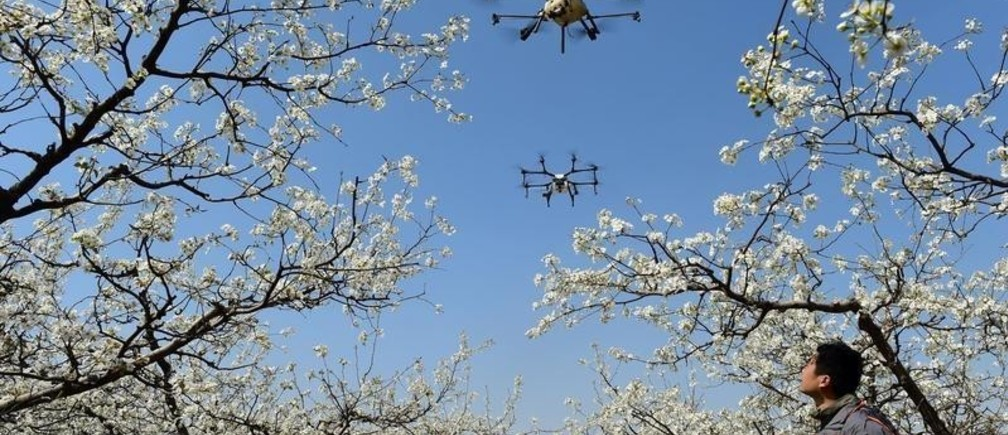 A worker looks on as drones are used to pollinate pear blossoms at a pear farm in Cangzhou, Hebei province, China April 9, 2018. REUTERS/Stringer  ATTENTION EDITORS - THIS IMAGE WAS PROVIDED BY A THIRD PARTY. CHINA OUT.     TPX IMAGES OF THE DAY - RC1D925766C0