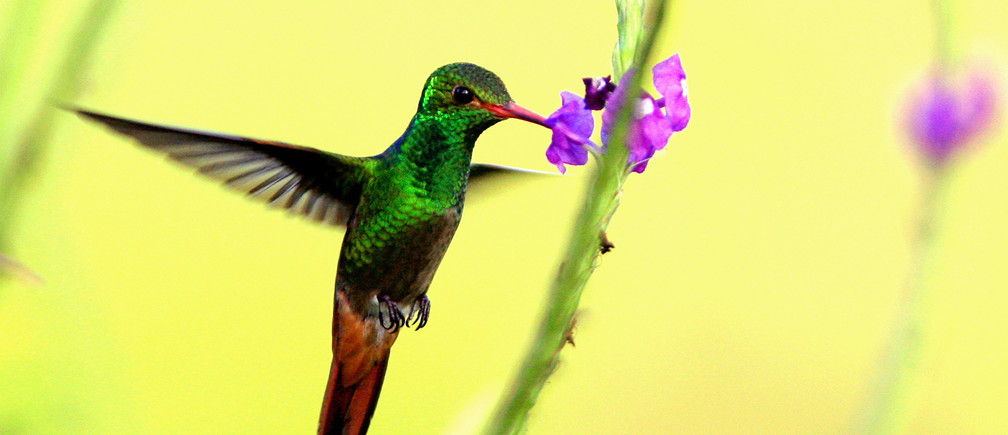 A Rufous-tailed Hummingbird (Amazilia rabirrufa) hovers while drinking from a flower at La Selva biological station in Sarapiqui, 80 miles (129 km) north of San Jose, Costa Rica in this picture taken January 12, 2006. The Selva is one of the world's most important sites for tropical ecosystem research. La Selva has about 73% of its area under primary tropical rain forest. Each year, more than 250 scientists from some 25 countries and international students come to La Selva to study tropical ecology. Species diversity include more than, 330 species of trees, and 43 species of birds. Picture taken January 12. REUTERS/Juan Carlos Ulate PP06010215 - RP3DSFCZTLAA