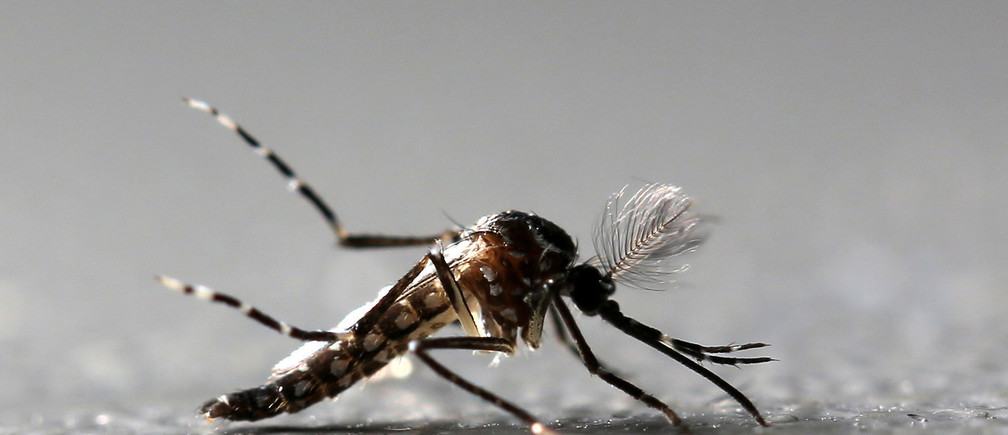 Genetically modified male Aedes aegypti mosquitoes are pictured at Oxitec factory in Piracicaba, Brazil, October 26, 2016.  REUTERS/Paulo Whitaker   TPX IMAGES OF THE DAY      - S1AEUJGOIJAA