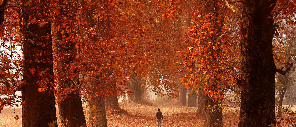 A man walks through a garden on an autumn day in Srinagar, Indian-administered Kashmir, November 15, 2016. REUTERS/Danish Ismail     TPX IMAGES OF THE DAY - RTX2TQL5