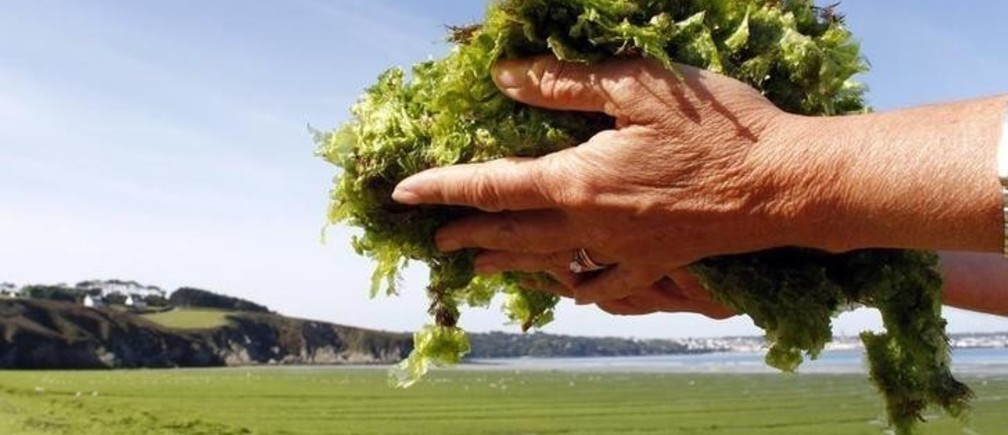 A handful of seaweed is displayed as masses of green seaweed, which at times emits noxious gasses, is seen on Kerlaz beach near Douarnenez in Brittany, western France, August 30, 2011.  REUTERS/Mal Langsdon  (FRANCE - Tags: ENVIRONMENT SOCIETY TRAVEL DISASTER)