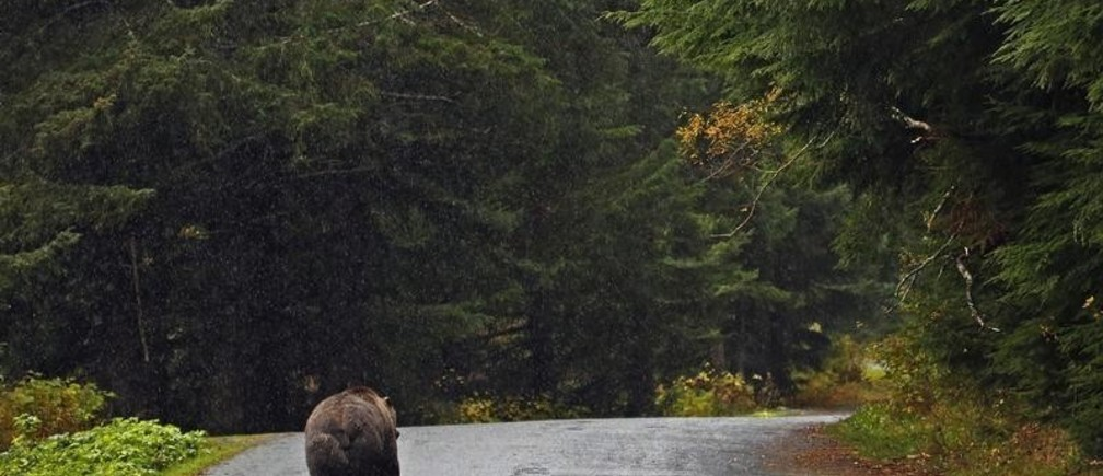 A coastal brown bear walks down a road in the rain next to the Chilkoot River near Haines, Alaska October 9, 2014.   REUTERS/Bob Strong (UNITED STATES  - Tags: ENVIRONMENT ANIMALS TRAVEL)   - TB3EAAL1DWK6Q
