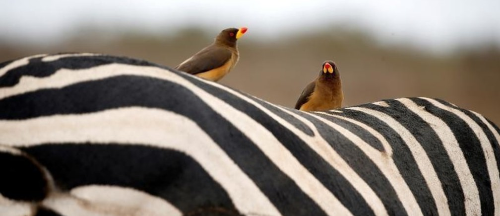 Birds sit on the back of a zebra in the Nairobi National Park, near Nairobi, Kenya, November 21, 2018. REUTERS/Baz Ratner     TPX IMAGES OF THE DAY - RC1F447016E0