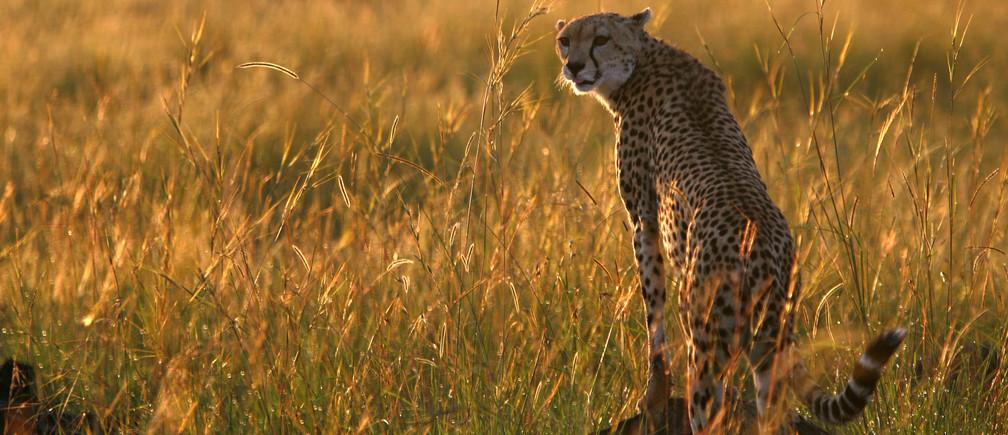 A cheetah observes the plains in Masai Mara game reserve, April 26, 2008. Picture taken April 26, 2008. REUTERS/Radu Sigheti  (KENYA) - GM1E44T1LBW01
