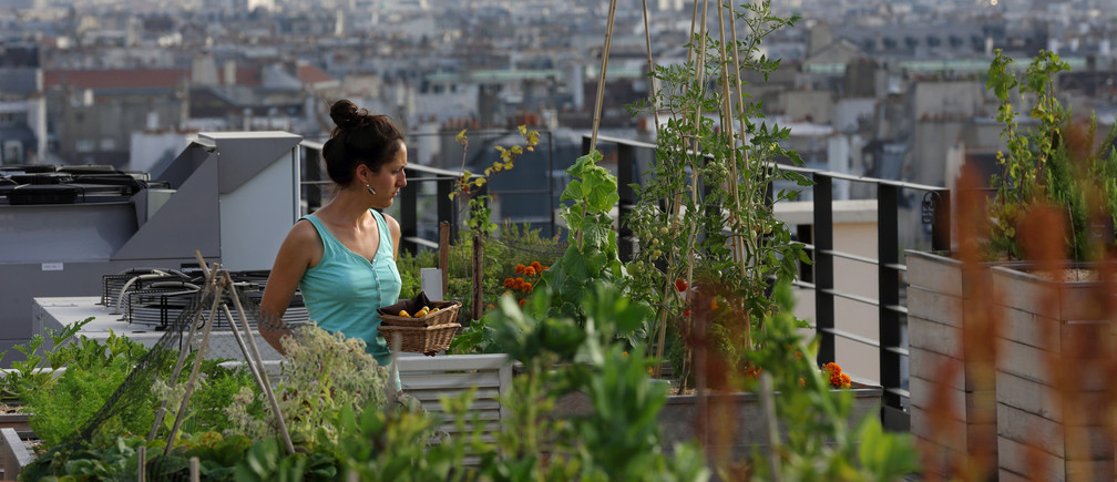 Sibylle, biotechnology engineering student, collects Orgeval yellow courgettes from the vegetable kitchen garden installed on the roof of La Mutualite building in Paris July 23, 2013. This rooftop urban vegetable patch is managed by Sibylle for the French Chef  Eric Castandet to supply fresh seasonal produce to the restaurant 'Terroir Parisien' on the ground floor of the building.  Currently emerging in French cities, green spaces have sprouted on the flat roofs of towns all over the world as part of the growing trend for urban agriculture in line with increased concern about the origins of our food. Picture taken July 23, 2013.  REUTERS/Philippe Wojazer  (FRANCE - Tags: ENVIRONMENT) - RTX11X26