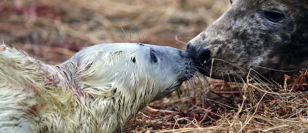 A female grey seal nuzzles her newborn calf on the Farne Islands off the Northumberland coast, near Seahouses, northern England November 17, 2013. The Farne Islands, which lie off the coast of northeast England, are home to a huge array of wildlife. The islands are owned and protected by the British conservation charity, the National Trust, which says they host some 23 species of seabird, as well as a substantial colony of grey seals, who come to have their pups there in the autumn. Every five years the National Trust carries out a census of the islands' population of puffins, and this year's survey showed there were almost 40,000 nesting pairs on the islands - an 8 percent rise from 2008. Picture taken November 17, 2013. REUTERS/Nigel Roddis (BRITAIN - Tags: ANIMALS ENVIRONMENT SOCIETY)ATTENTION EDITORS: PICTURE 30 OF 35 FOR PACKAGE  'FARNE ISLANDS - SEALS, PUFFINS AND SHAGS'TO FIND ALL IMAGES SEARCH 'FARNE ISLANDS' - RTX164N5