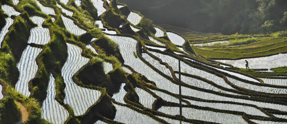 A farmer walks amid a terrace paddy field in Suichuan county, Jiangxi province June 1, 2013. Picture taken June 1, 2013. REUTERS/China Daily (CHINA - Tags: AGRICULTURE SOCIETY) CHINA OUT. NO COMMERCIAL OR EDITORIAL SALES IN CHINA - GM1E96219BC01