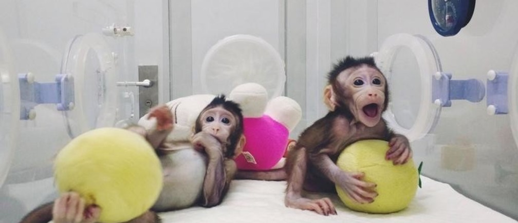 Cloned monkeys Zhong Zhong and Hua Hua are seen at the non-human primate facility at the Chinese Academy of Sciences in Shanghai, China January 20, 2018, in this picture provided by Chinese Academy of Sciences and released by China Daily.