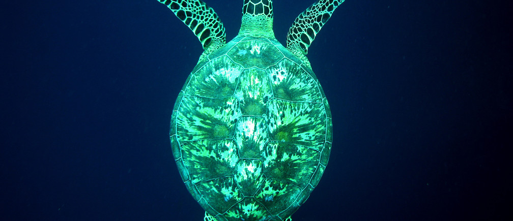 A giant green turtle swims underwater at a diving site near the island of Sipadan on Celebes Sea east of Borneo November 8, 2005.REUTERS/Peter Andrews - RP2DSFHCYTAB