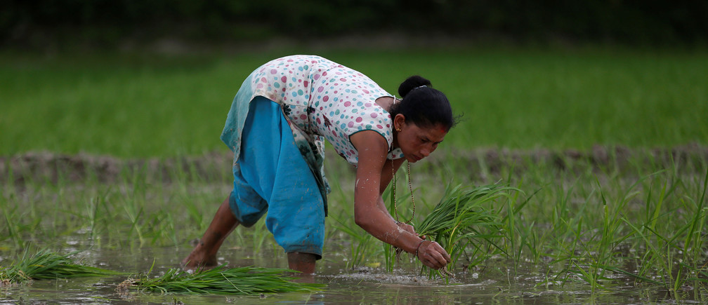 A woman plants rice saplings in a paddy field a day ahead of National Paddy Day, also called Asar Pandra, that marks the commencement of rice crop planting in paddy fields as monsoon season arrives, in Bhaktapur, Nepal, June 28, 2018. REUTERS/Navesh Chitrakar - RC1A2EAD34B0