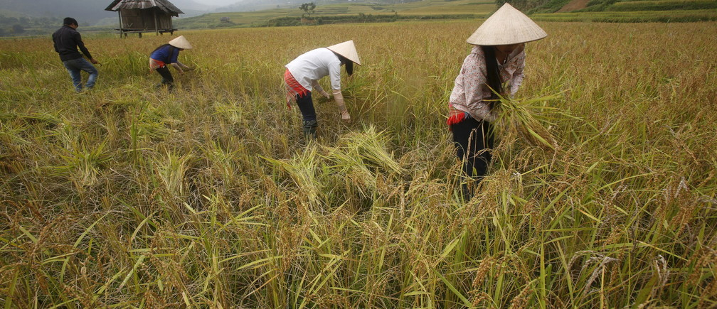 Vietnamese farmers of Dao ethnic tribe harvest rice on a terraced rice paddy field during the harvest season in Tu Le, northwest of Hanoi October 3, 2015.  REUTERS/Kham - GF10000231117