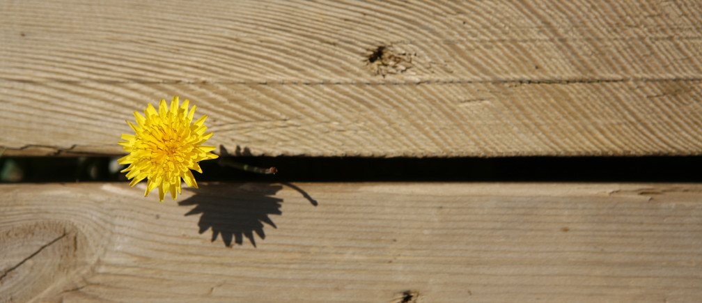A yellow dandelion grows through wood planks in Zahara de los Atunes, March 18, 2007. REUTERS/Marcelo del Pozo  (SPAIN) FOR BEST QUALITY IMAGE ALSO SEE: GM1E87B1BXZ01 - RTR1NNFS