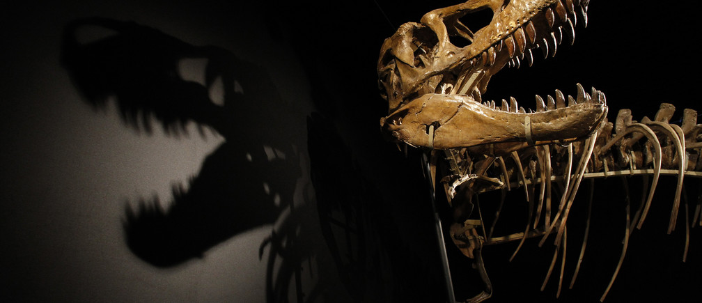 A Tarbosaurus dinosaur skeleton is displayed during an exhibition.