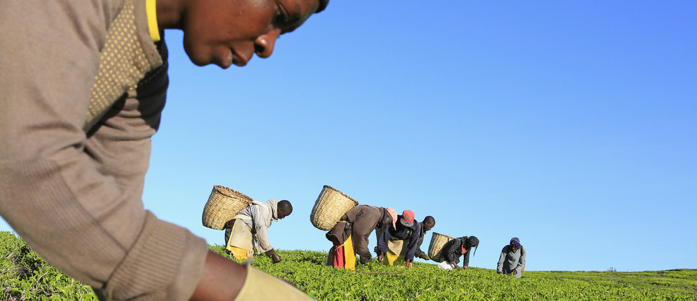 A woman picks tea leaves at a plantation in Nandi Hills, in Kenya's highlands region west of capital Nairobi, November 5, 2014. Emerald-coloured tea bushes blanketing the rolling hills of Nandi County have long provided a livelihood for small-scale farmers, helping make Kenya one of the world's biggest tea exporters. But ideal weather and bigger harvests, instead of producing bumper earnings, have led to a glut of Kenya's speciality black tea. Picture taken November 5, 2014. To match story KENYA-TEA/ REUTERS/Noor Khamis (KENYA - Tags: AGRICULTURE BUSINESS EMPLOYMENT COMMODITIES TPX IMAGES OF THE DAY) - GM1EABG18SP01